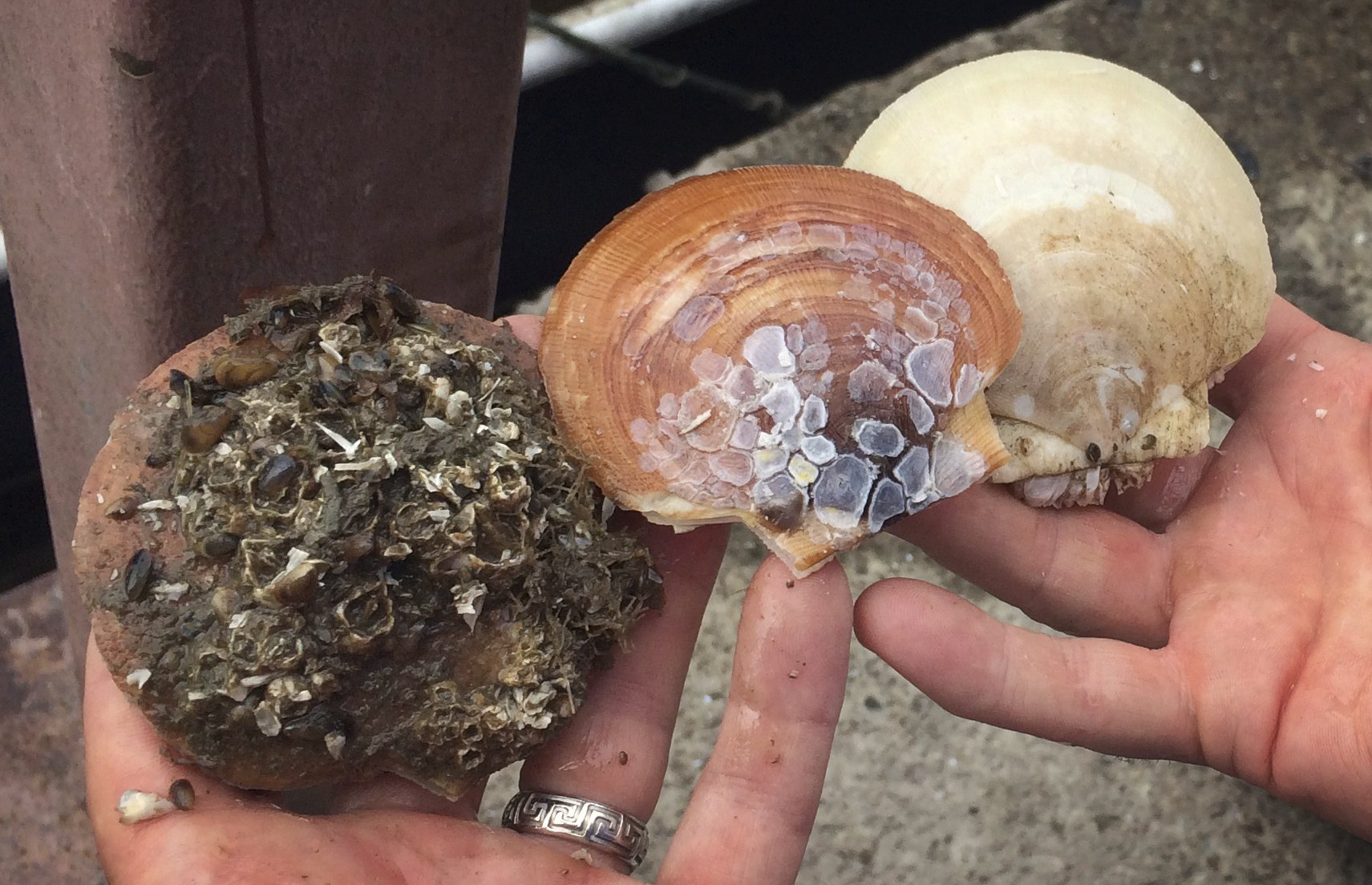 Mainers look to farms to boost scallops, a wild staple