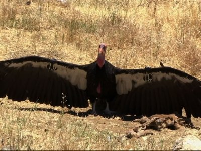 Biologists Track Condor's Flight Toward Recovery