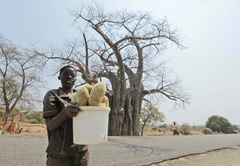 20 2017 a child with a bucket of baobab fruit stands in front of a giant baobab tree in Chimanimani Zimbabwe. Africau0027s ancient baobab with itu0027s ... & Africau0027s iconic baobab trees dying off at alarming rate