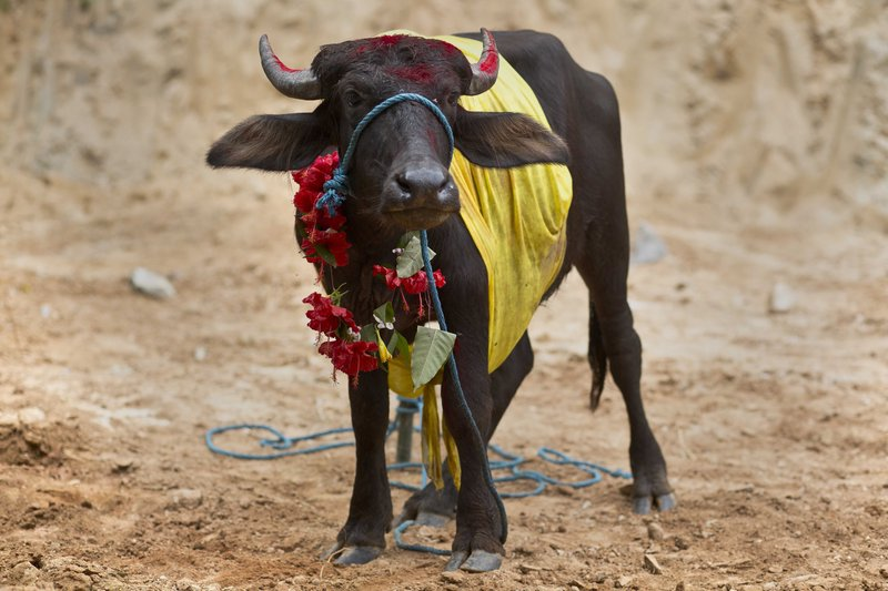In this Thursday, Sept. 28, 2017 photo, a buffalo calf stands festooned in colorful decorations, before being sacrificed at a temple of Hindu goddess Durga at Rani village on the outskirts in Gauhati, Assam state, India. Participants in the five-day Durga Puja festival believe the sacrifices bring prosperity and good health. But in some parts of India, religious animal sacrifices are banned.