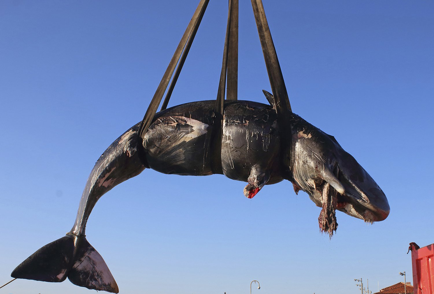 Image result for DEAD WHALE FOUND WITH 48 POUNDS OF PLASTIC