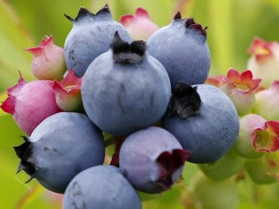 Wild blueberry industry singing the blues