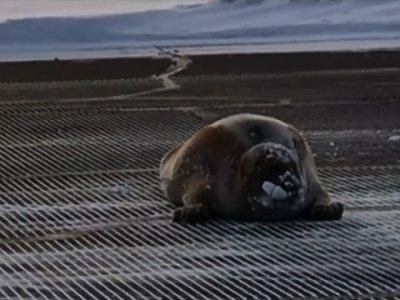 Seal Lands on Alaska Airport's Runway