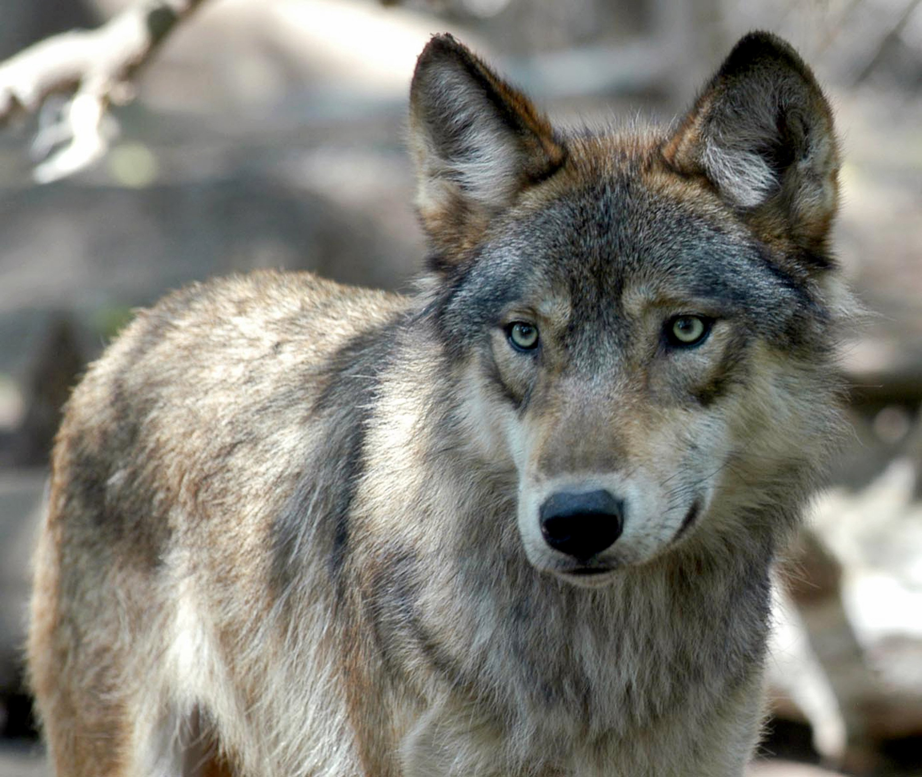 Wyoming wolf hunts to start again after US court decision