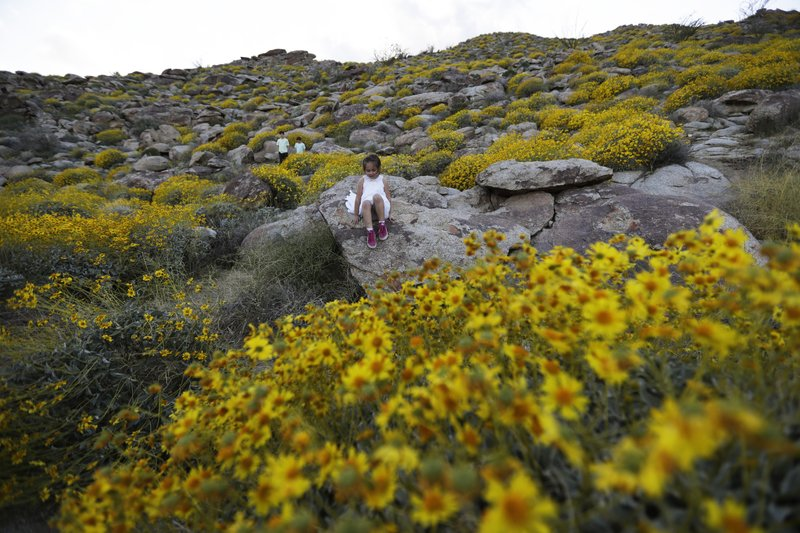 Californias desert wildflower explosion draws record crowds in this march 27 2017 photo zoey speer of temecula calif clamors among rocks and blooming desert shrubs in borrego springs calif mightylinksfo