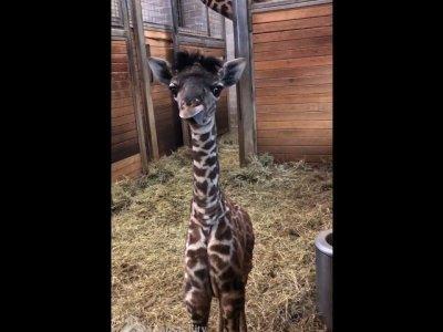Kansas City Zoo Welcomes 5-foot Baby Giraffe