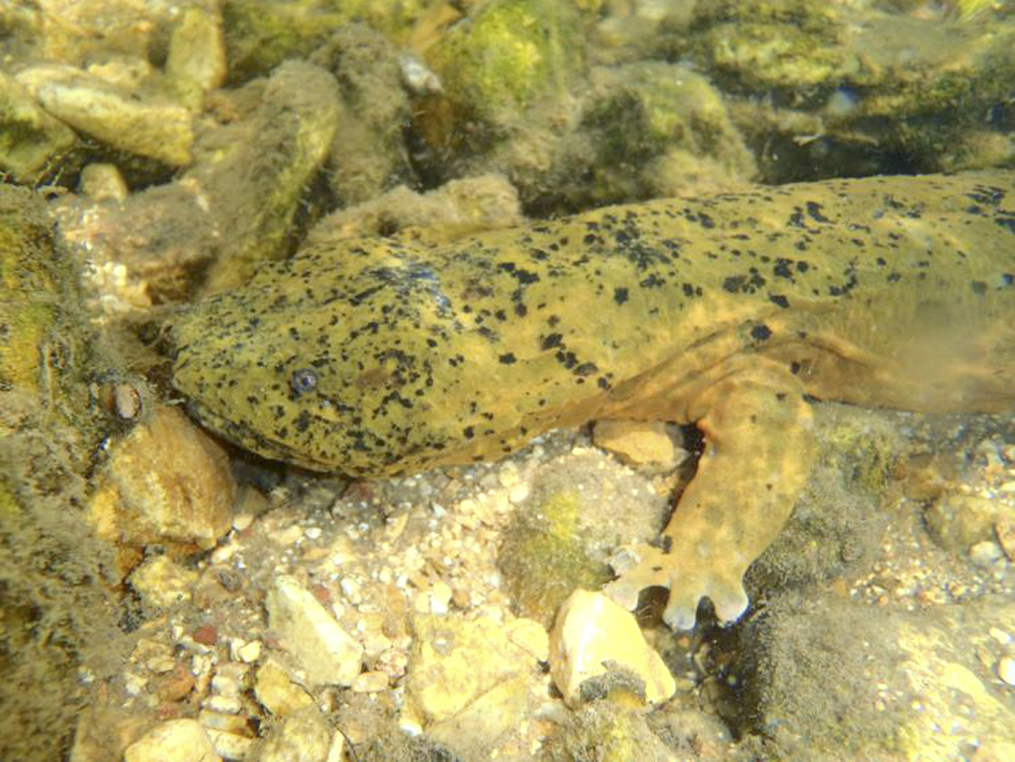 Pawpaw and hellbender could gain Missouri recognition