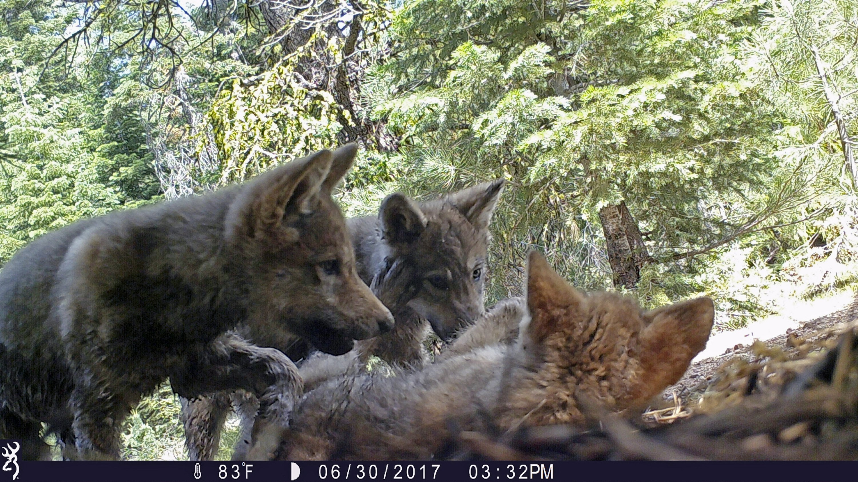 8a68f7fa292886 US plans end to wolf protections  critics say it s premature