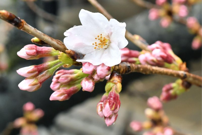 Japan Cherry Blossom Season Begins Marking Start Of Spring