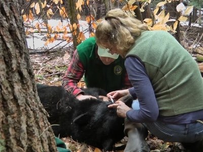 Bear Spared by N.H. Gov. Returns with 4 Cubs