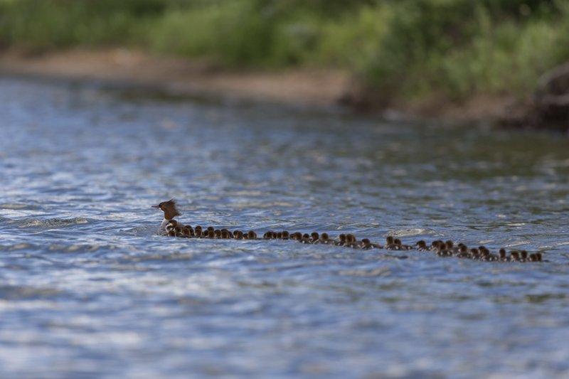 Dozens Of Ducklings Minnesota Photographer Gets Rare Shot
