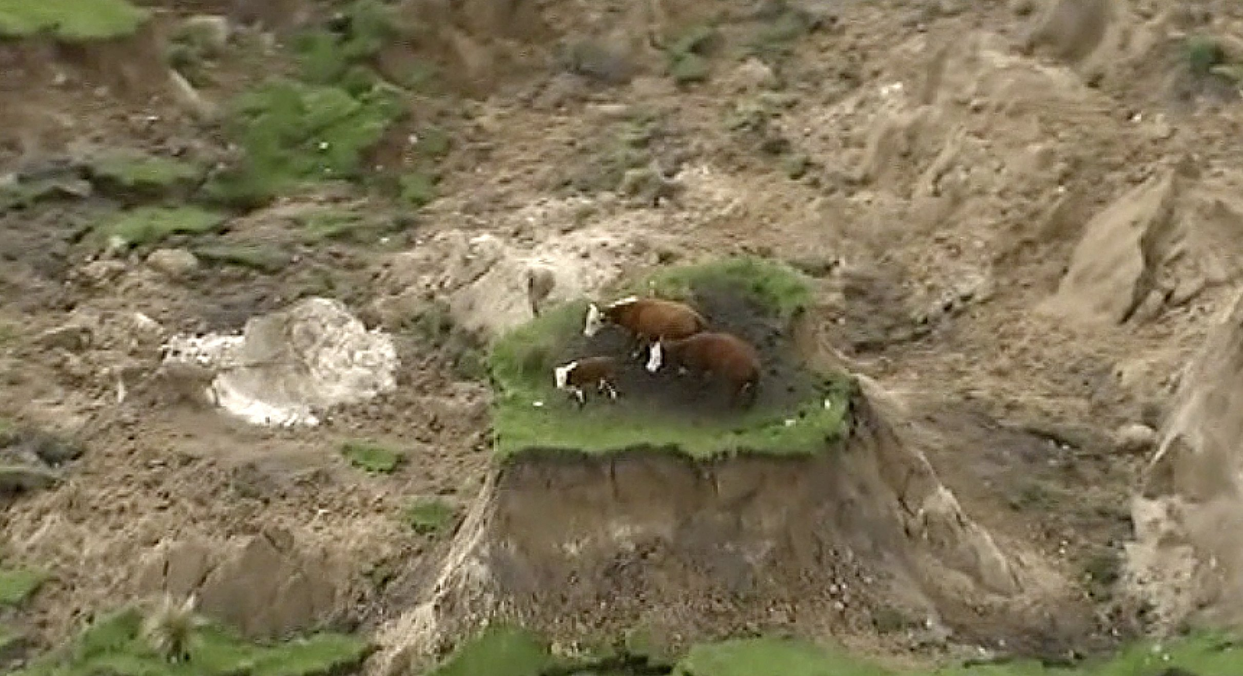 Moooving on: Cows stranded by New Zealand quake are rescued