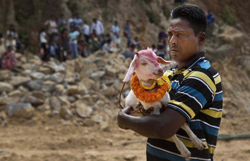 In this Thursday, Sept. 28, 2017 photo, a Hindu devotee carries a decorated goat to be sacrificed at a temple of Hindu goddess Durga at Rani village on the outskirts in Gauhati, Assam state, India. Participants in the five-day Durga Puja festival believe the sacrifices bring prosperity and good health. But in some parts of India, religious animal sacrifices are banned.