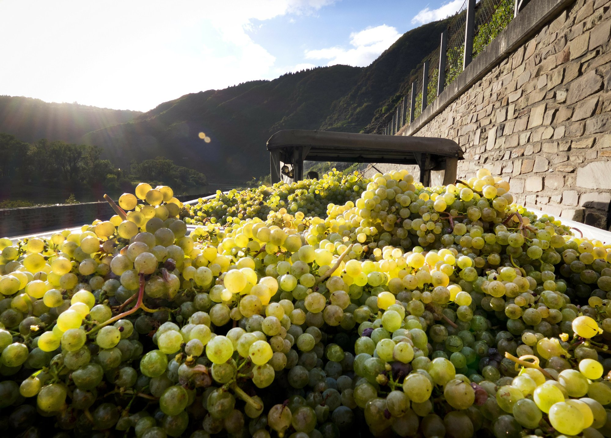 Germany sees biggest wine harvest since '99 after hot summer
