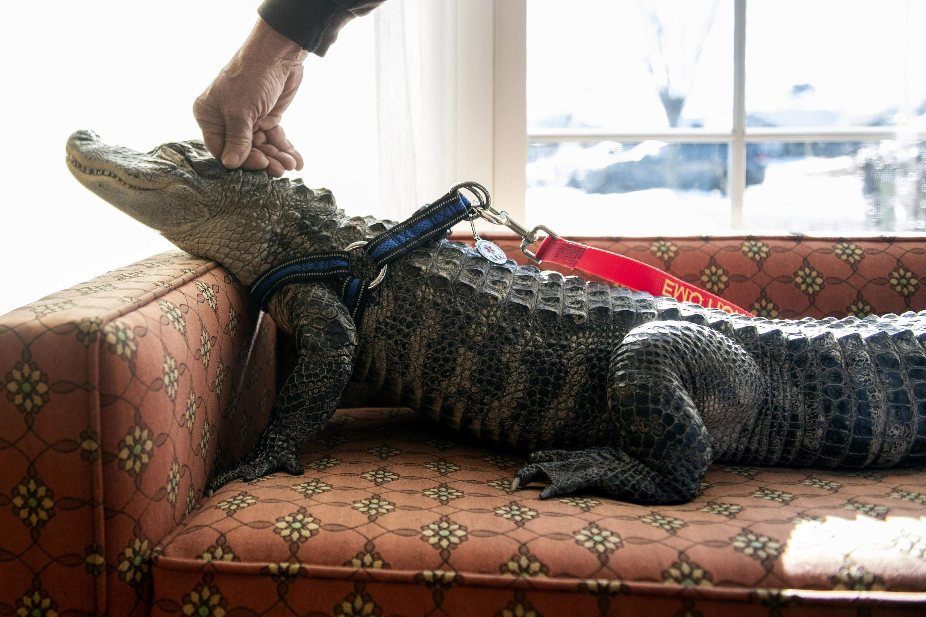 One unusual thing: PA man has emotional support gator for depression