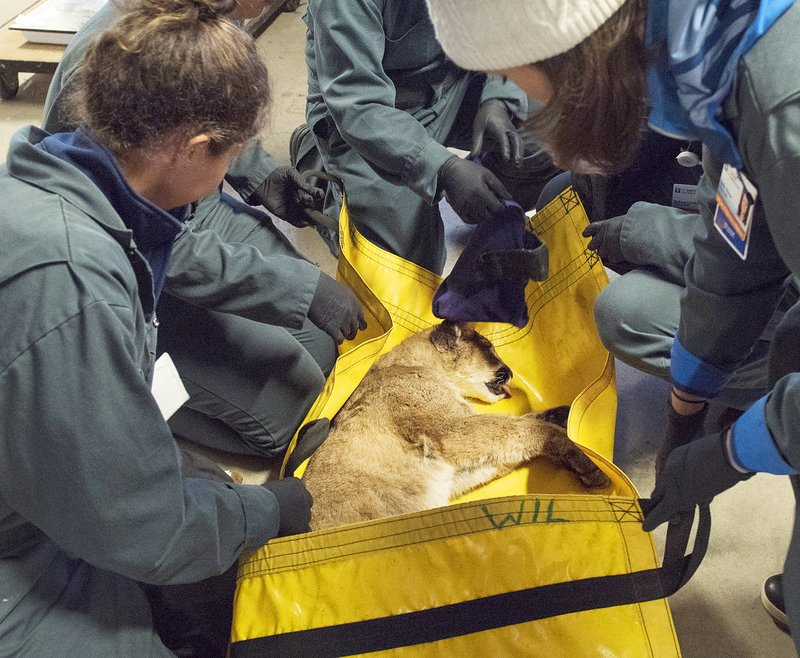 Burned mountain lion cub to stay in captivity in California