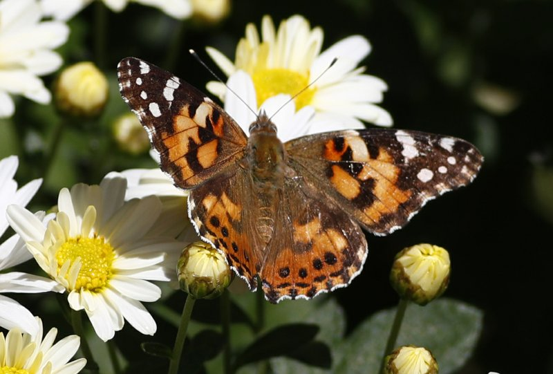Painted lady butterfly, daisies
