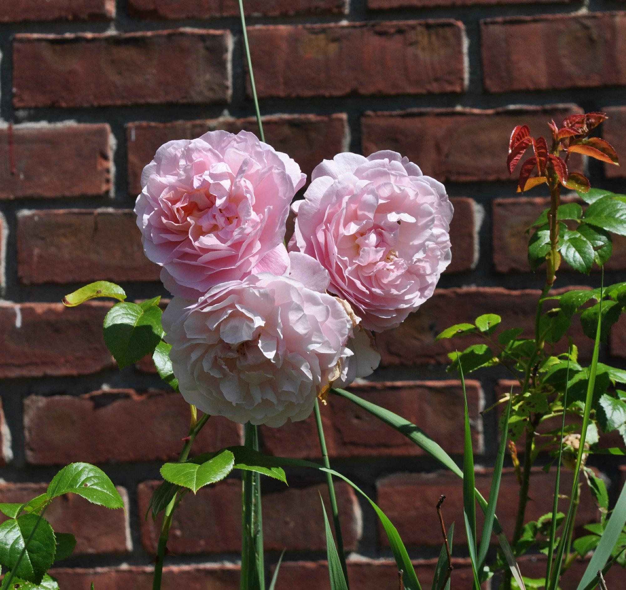A Rose May Be A Rose May Be A Rose But Varieties Vary