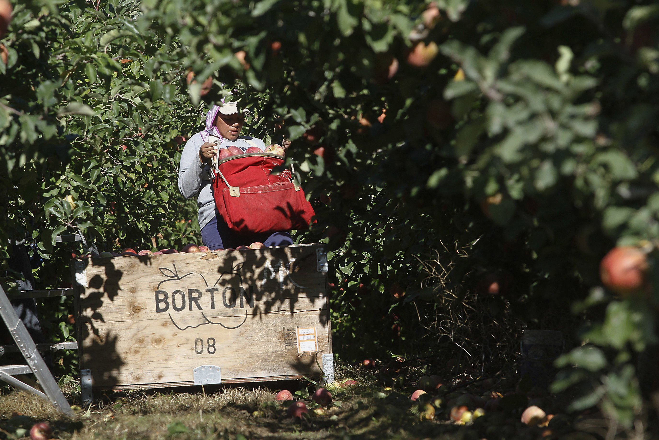 Robotic fruit pickers may help orchards with worker shortage