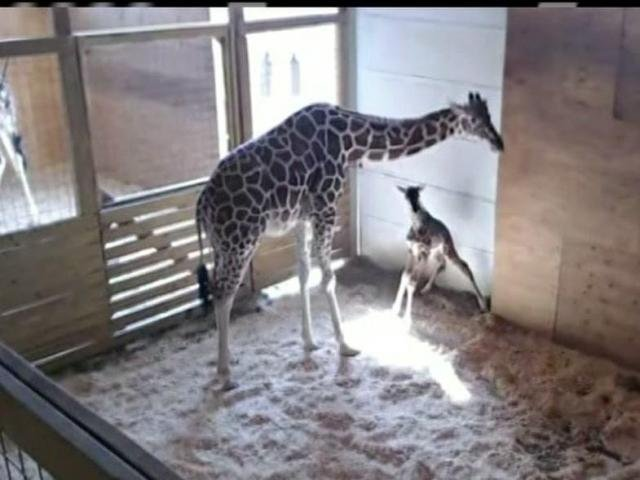 April the giraffe gives birth