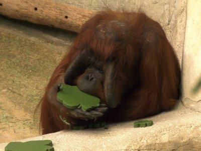 Zoo Animals Get St  Patrick's Day Treats