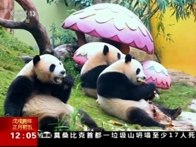 panda triplets celebrate chinese new year