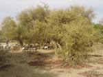 Etude sur le potentiel de peuplement de Balanites aegyptiaca et l'organisation de l'exploitation des fruits dans la forêt de ''Touppere''