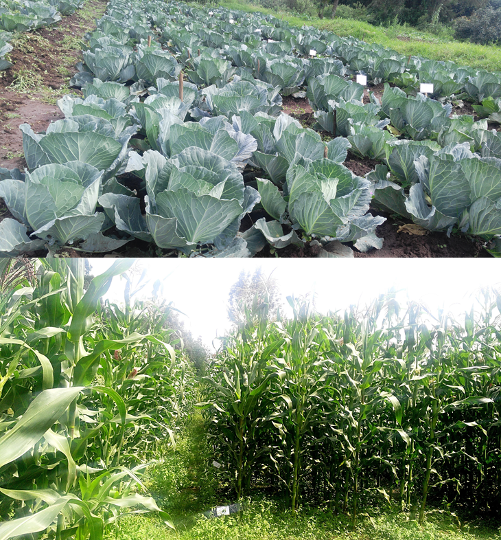 CABBAGE AND MAIZE FROM FAECAL MATTER PRODUCTS - From pit to product, Kenya