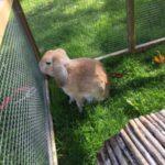 guy fawn lop eared rabbit
