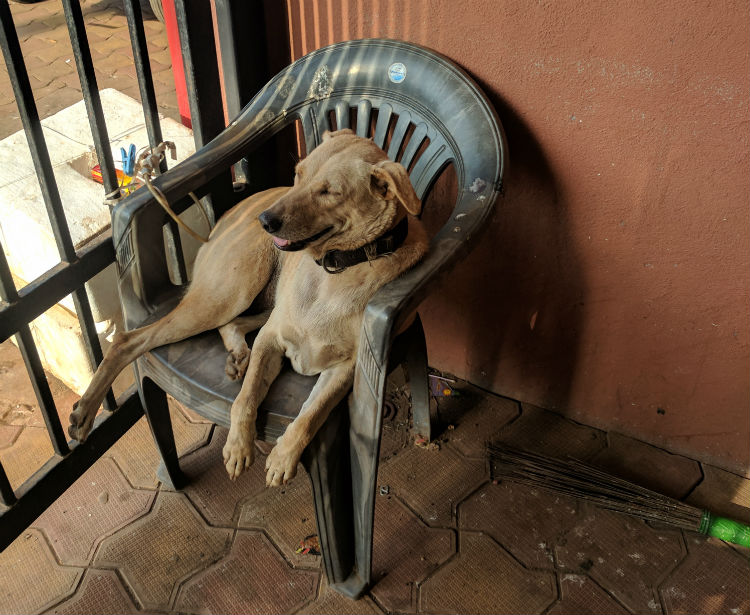Even dogs are more laid back in Goa.