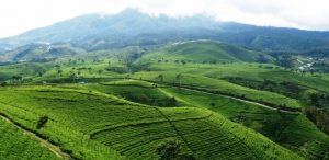 kemuning tea field tour