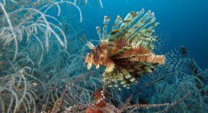 pulau-lembeh-diving