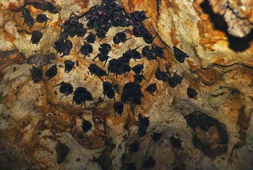 Bats in a cave in Bukit Lawang