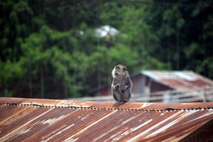 A monkey on the roof of a villager's house, showing how close the village is to the jungle seens the border is so blurry