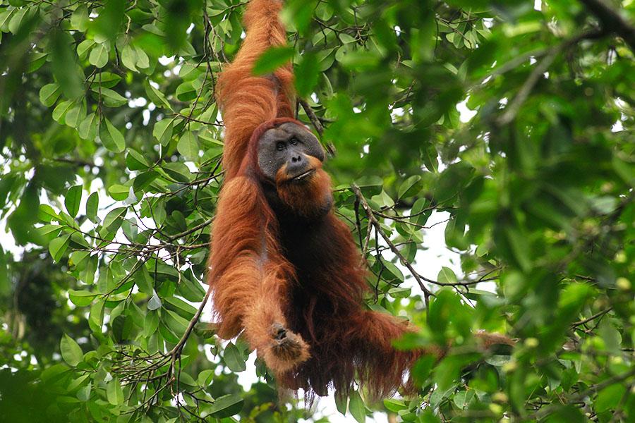 Orangutan in the rainforests of Sumatra, Indonesia