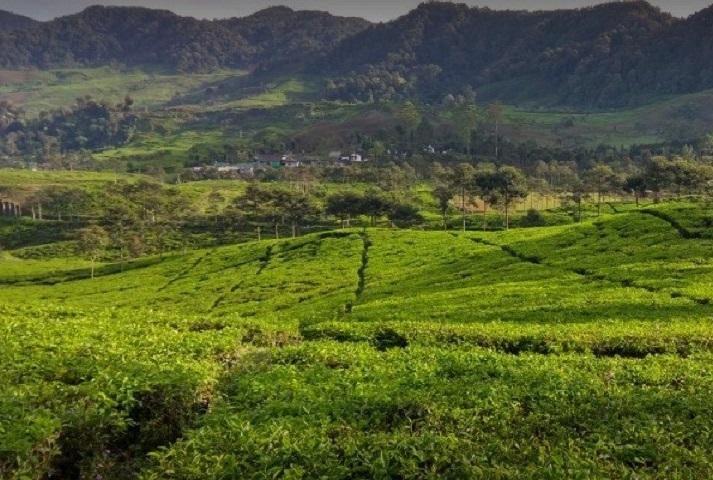 Puncak Gunung Ma Tea Gardens