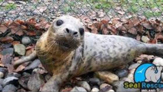 Rescue seal ireland main pic