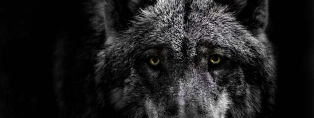 Ambition Project Wolf