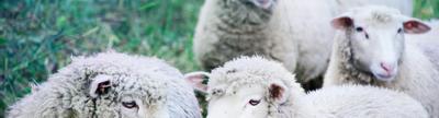 Cover photo for Livestock Conservancy Heritage Livestock Microgrant Program