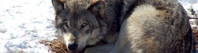 Cover photo for Minnesota Wolf-Livestock Conflict Prevention Grants