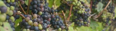 Cover photo for New York Vineyard Improvement Program