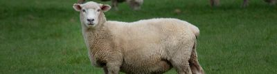 Cover photo for Sheep Production and Marketing Grant Program
