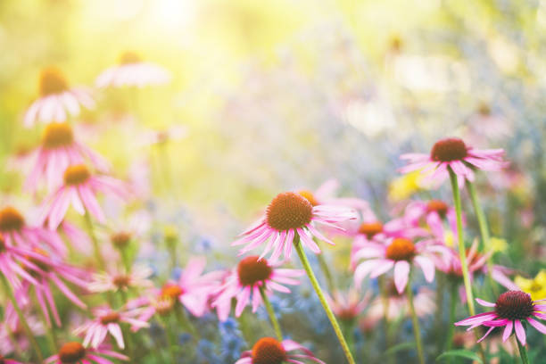 Echinacea-As-A-Herb