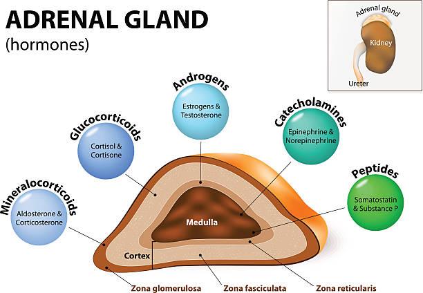 Adrenal-Gland-(Hormones)