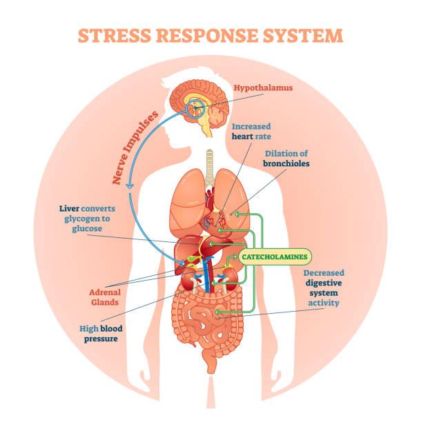 Adrenal-Stress-Response-System