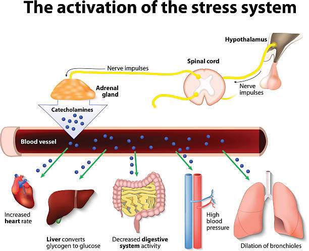 activation-of-the-stress-system