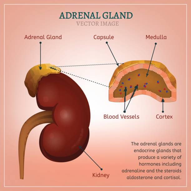 The-Adrenal-Gland-Responsible-For-Adrenaline