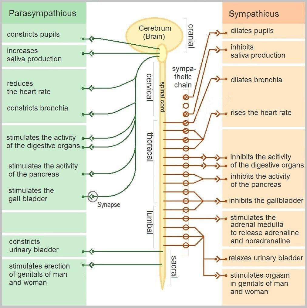 The-Autonomic-Nervous-System