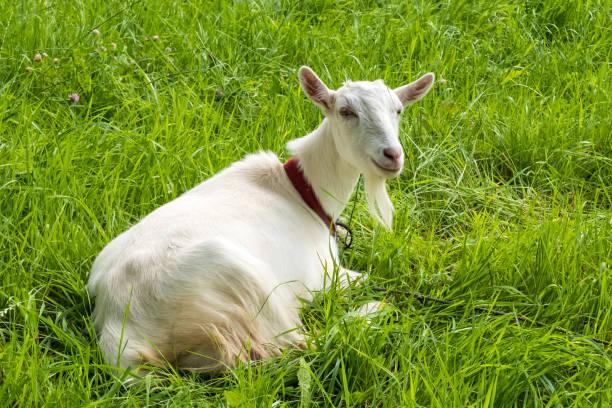 Milk-Goats-Milk