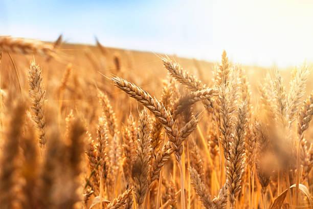Does wheat gluten cause weight gain?